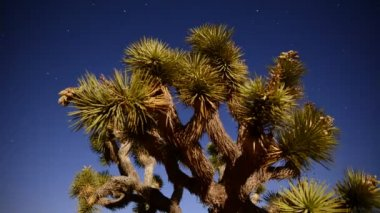 Joshua Tree at Night Full Moon — Stock Video