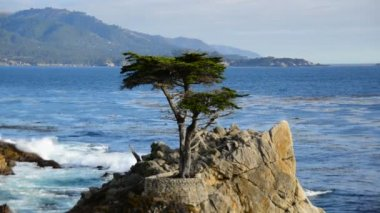 Lone Cypress Tree — Stock Video