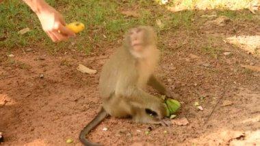 Monkey Eating Lotus Seeds — Stock Video