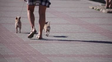 The woman walks two small dogs — Stock Video