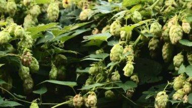 Hops, beer — Stock Video