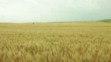 Flight over a field of golden wheat — Stock Video