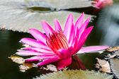 Water lily in the lagoon — Stock Photo