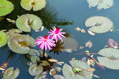 Water lily in the lagoon with reflections of the surrounding rai — Stock Photo
