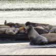 Sea lions, Pier 39, San Francisco, California — Stock Photo #52731327