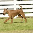 Постер, плакат: Irish Terrier