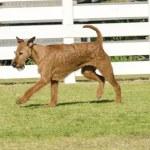 Irish Terrier — Stock Photo #54287107