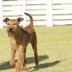 Irish Terrier — Stock Photo #54364623