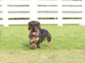 Dachshund (Wirehaired) — Foto de Stock