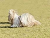 ши цзы собака — Стоковое фото