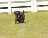 Dachshund (Wirehaired) — ストック写真
