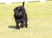 Affenpinscher dog — Stock Photo