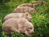 Weimar hound — Stock Photo