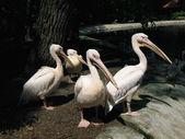 Pelicans. — Stock Photo