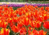 Spring tulips. — Stock Photo