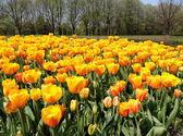 Blooming tulips. — Stock Photo