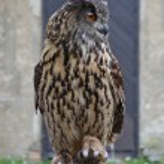 Eurasian Eagle Owl (Bubo bubo) — Stock Photo #55146641