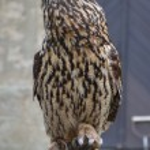 Eurasian Eagle Owl (Bubo bubo) — Stock Photo #55146645