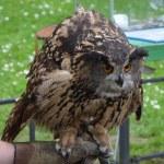 Eurasian Eagle Owl (Bubo bubo) — Stock Photo #55591463
