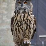 Eurasian Eagle Owl (Bubo bubo) — Stock Photo #55591469