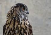 Eurasian Eagle Owl (Bubo bubo) — Stock Photo