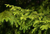 Detail of fresh spruce branch — Stock Photo