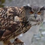 Eurasian Eagle Owl (Bubo bubo) — Stock Photo #57742587