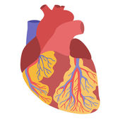 Human heart anatomy illustration — Stock Vector