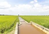 Pola ryżowe — Zdjęcie stockowe