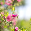 Softly blurred flowers of a sweet pea — Stock Photo #76041989