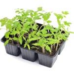 Tomato seedlings isolated — Stock Photo #72247425
