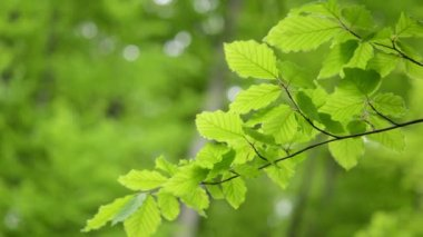 Branch green leaves Beech moving wind — Stock Video