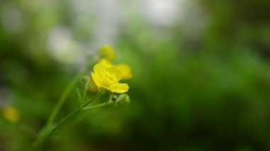 Yellow wild flower, blurred background — Stock Video