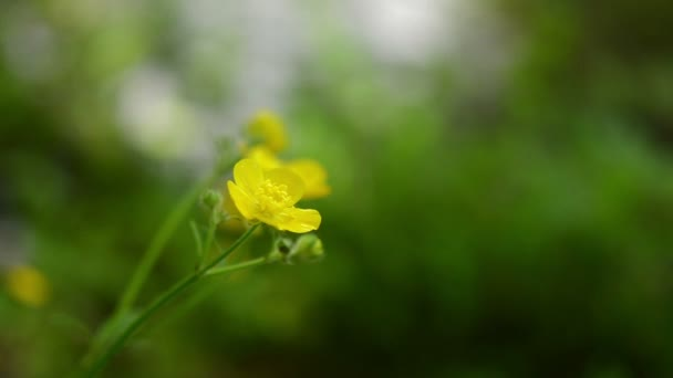 Yellow wild flower, blurred background — Vidéo