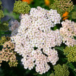 Close up of Achillea, Yarrow. — Stock Photo #79772012
