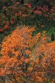 Lone Orange Oak — Stock Photo