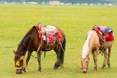SHANGRILA, CHINA - Jul 31 2014: Horses at Napa Lake. a famous landscape in the Ancient city of Shangrila, Yunnan, China. — Stock Photo