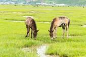 SHANGRILA, CHINA - Jul 31 2014: Horses at Napa Lake. a famous landscape in the Ancient city of Shangrila, Yunnan, China. — Stockfoto