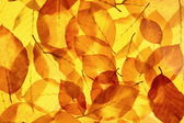 Yellow tree leaves as bright autumn background — Stock Photo