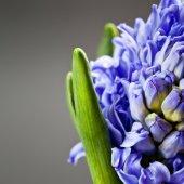 Beautiful blue  Hyacinths — Stock Photo