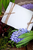 Hyacinths with empty white card — Stock Photo