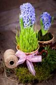 Blommor hyacinter — Stockfoto