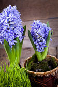 Flowers hyacinths — 图库照片