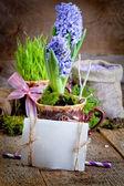 Świeże kwiaty Hiacynty. — Zdjęcie stockowe
