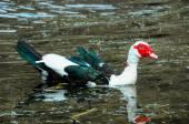 Muscovy Duck Swimming — Foto de Stock