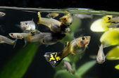Guppy Multi Colored Fish — Stock Photo