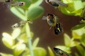 Guppy multi gekleurde vis — Stockfoto