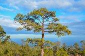 сосновые леса — Стоковое фото