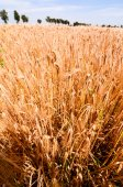 Textured Wheat Field — Foto de Stock