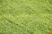 European OGM Growing Green Corn Field — Stock fotografie